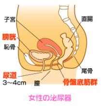 女性の泌尿器