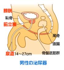 男性の泌尿器