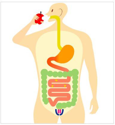 空腸・回腸